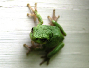 Green Frog in GBB BLOg